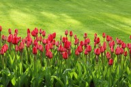 tulips-bloom-blossom-colorful-47313