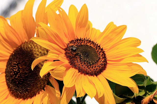 sun-flower-455969_640